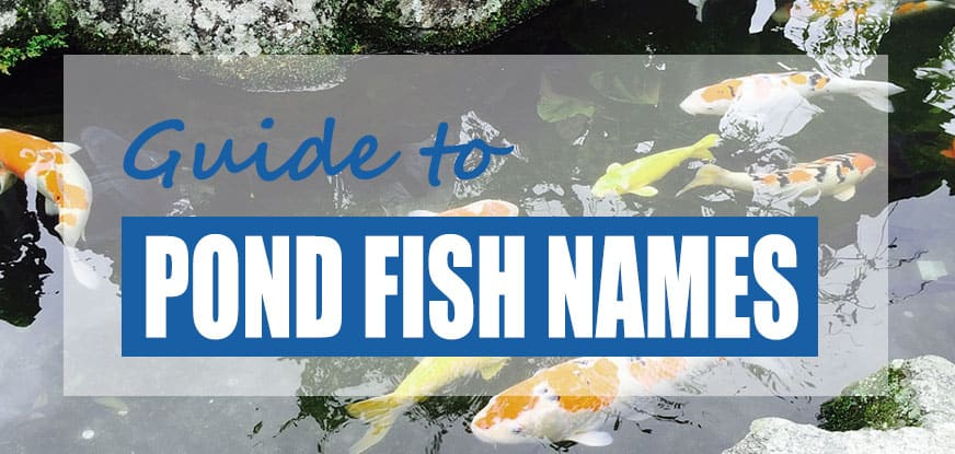 Unique Names for Koi & Goldfish Pets