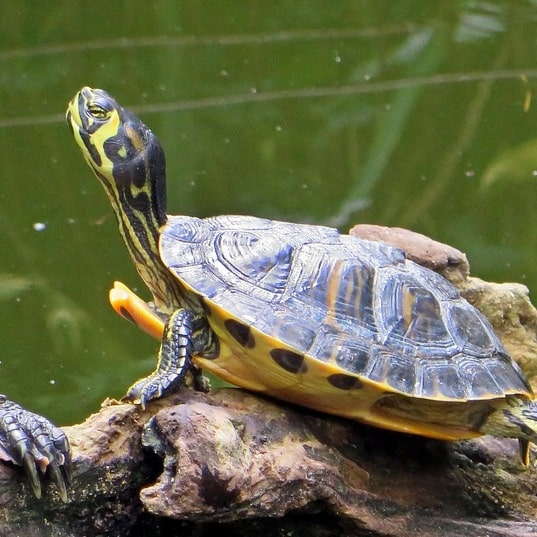 Yellow-bellied slider terrapin basking in a pond