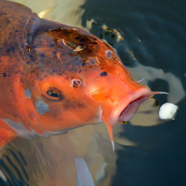 Can Koi Eat Bread Banana Oranges And Other Foods Pond Informer