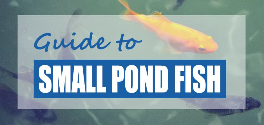 List of Small Pond Fish