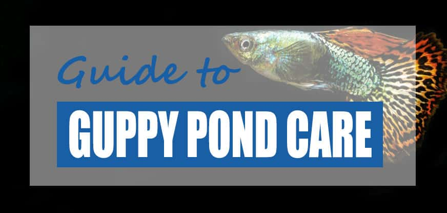 How to Raise Guppies & Make Guppy Ponds Outdoors