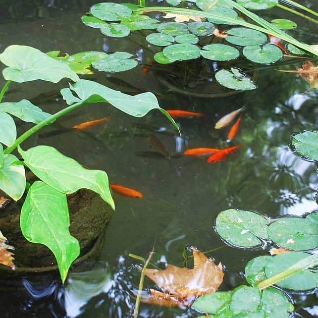 A variety of fish can be kept in outdoor ponds