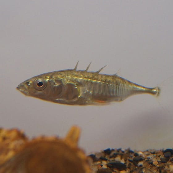 Sticklebacks are small with bony plates, making them hardy in small, outdoor ponds