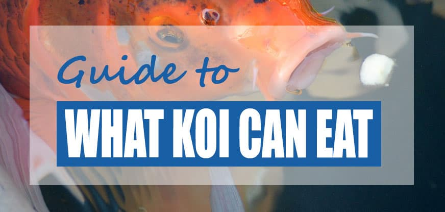 Can Koi Eat Bread, Banana & Oranges? (And Other Foods