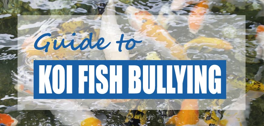 Are Koi Aggressive? How to Stop Koi Fish Bullying