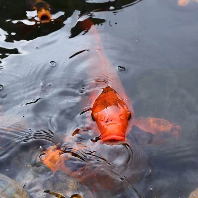 Koi carp are opportunistic feeders and may eat smaller fish