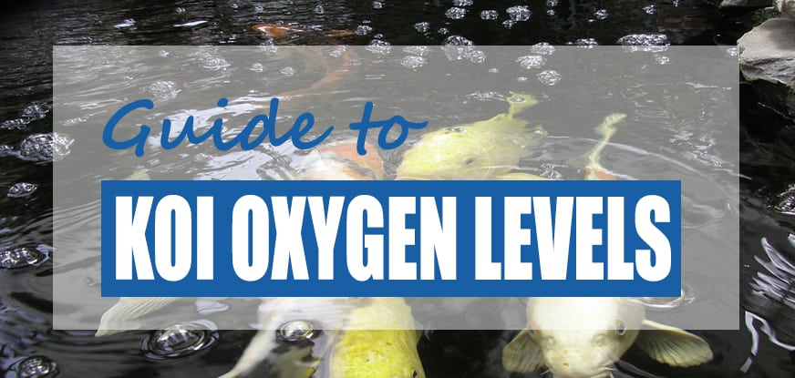 How Long Can Koi Live Without Oxygen?