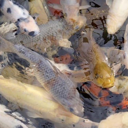 Koi can become aggressive if overstocked