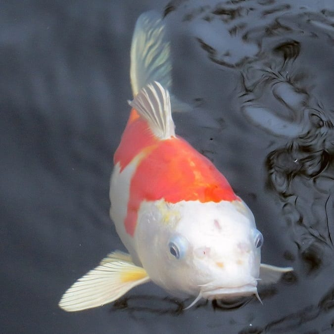 Some koi are naturally loners and like their space