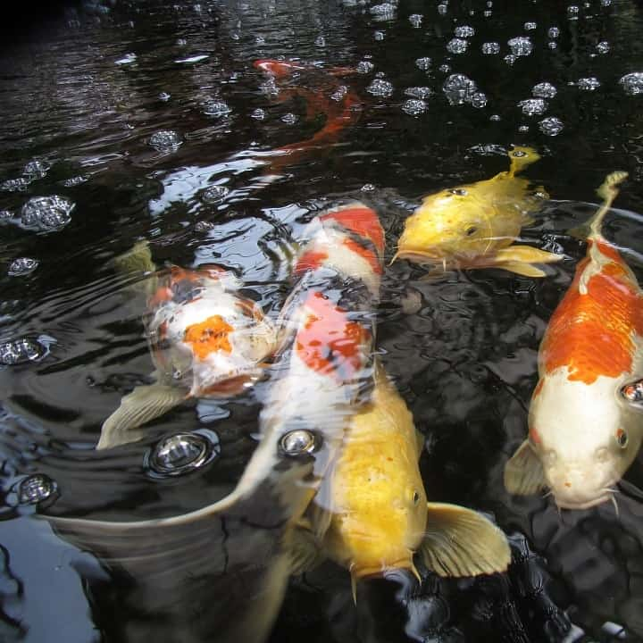 A pond with many koi carp benefits from increased oxygenation