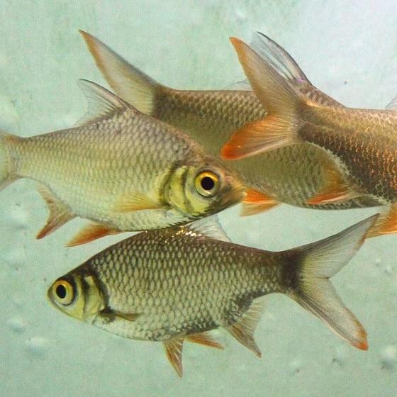 small pentazona barbs should be kept away from koi carp