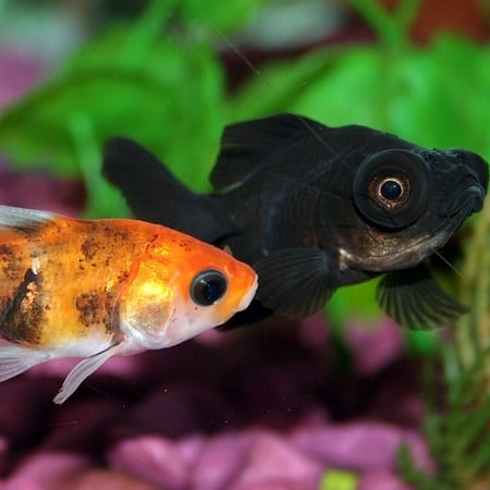 Small fancy goldfish varieties may be eaten by koi