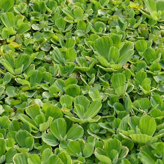 picture of water lettuce Pistia stratiotes