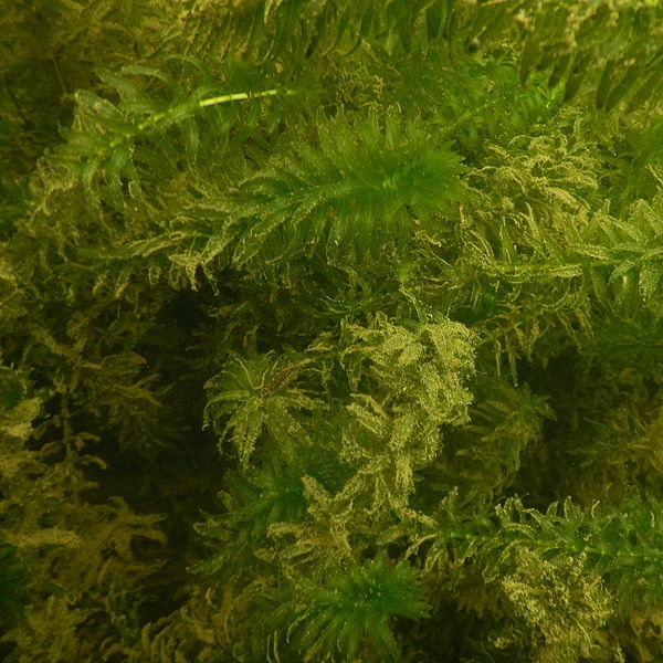 Many anacharis that look like submerged pine branches in a pond