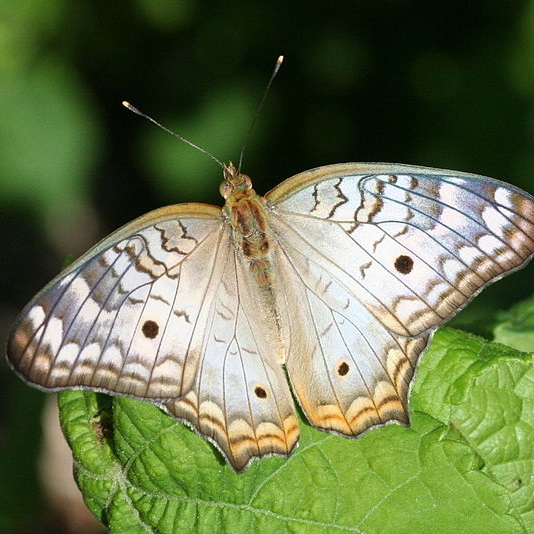 the white peacock butterfly depends on moneywort for survival