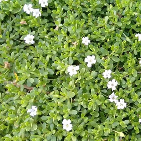 Many moneywort plants that need to be trimmed due to fast growth