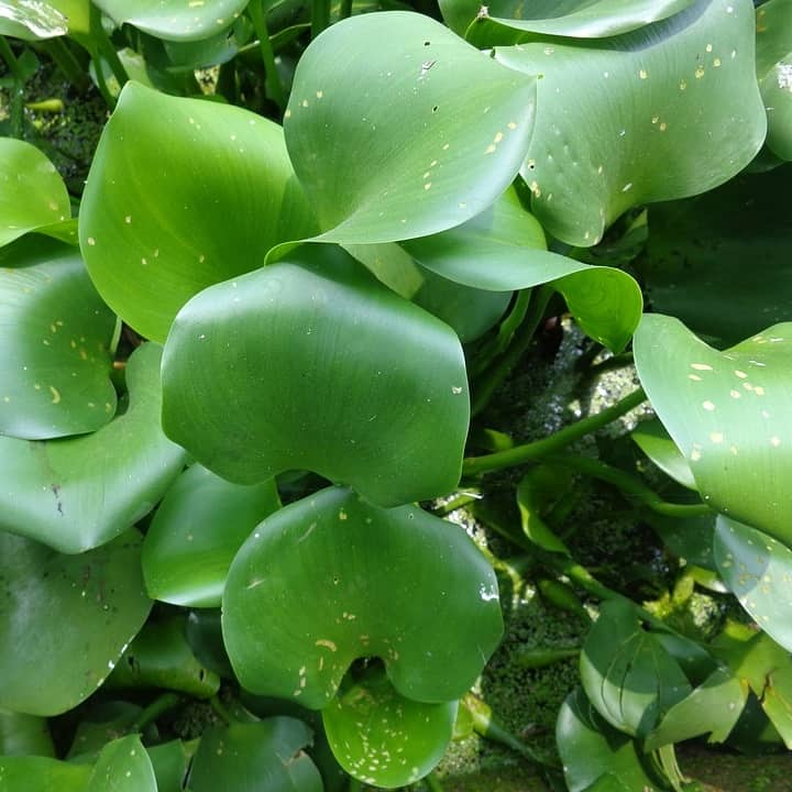 Water hyacinth can be invasive and become overgrown