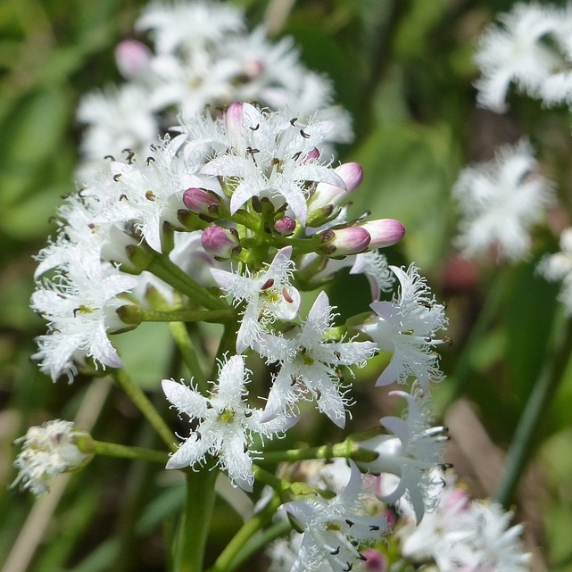 Bog bean plants with white flowers growing in a marginal pond edge
