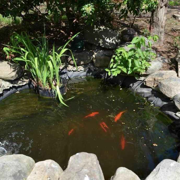 Goldfish and koi are tolerant of potassium permanganate, though most fish and plants are not