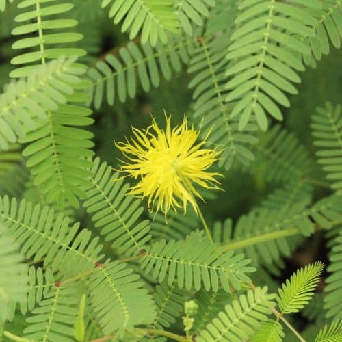 Healthy yellow water mimosa growing in full sun along a marginal pond edge