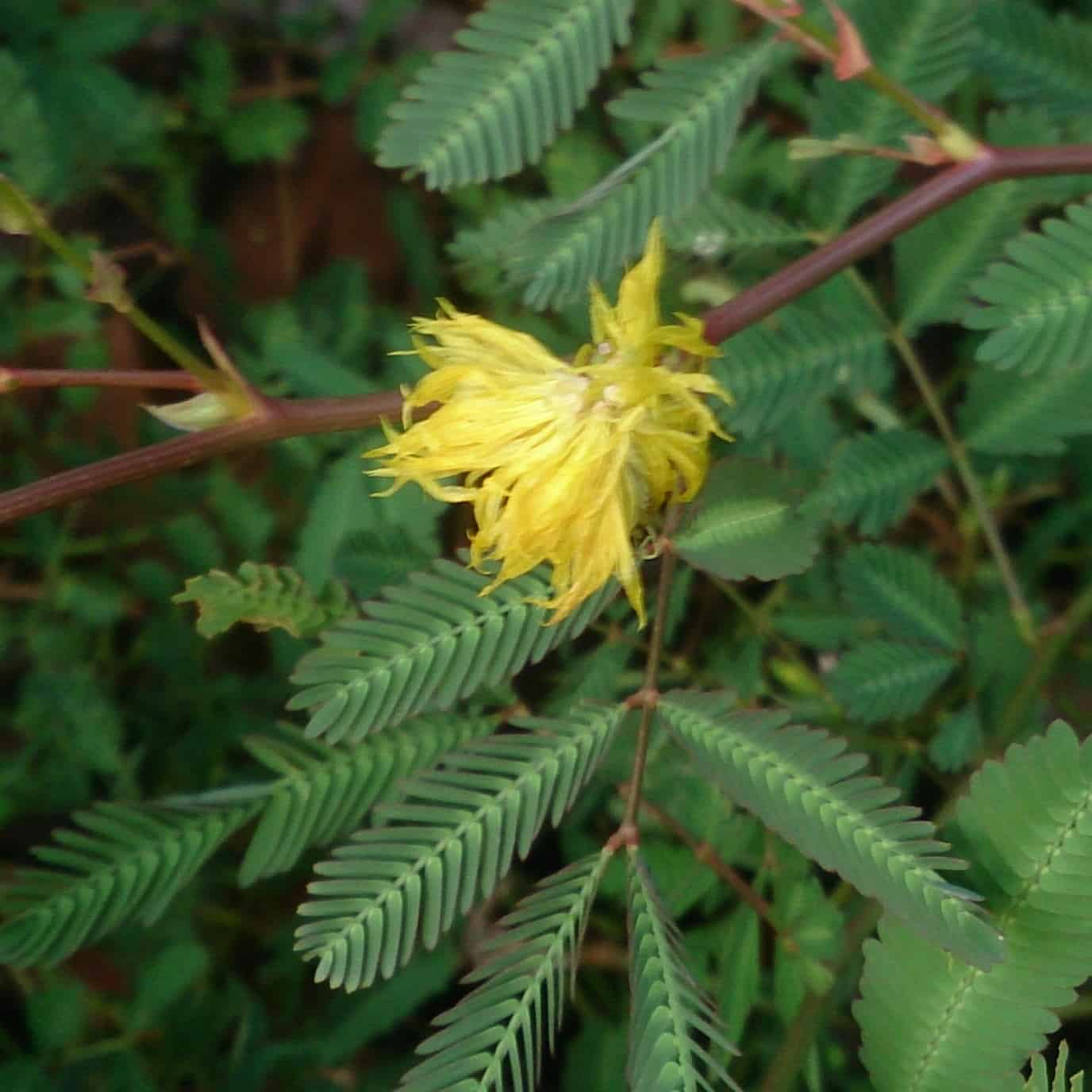 Water mimosa with yellow flowering growing in damp soils near water