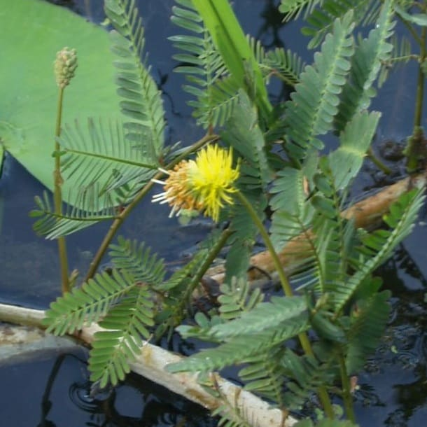 Neptunia oleracea with a yellow flower in a pond