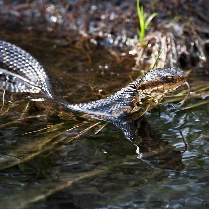 a water moccasin in a fish pond