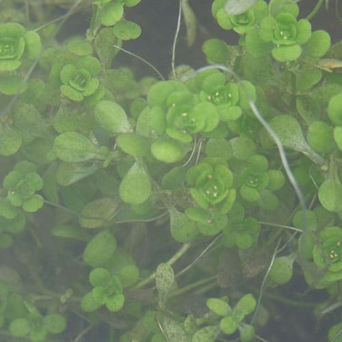 young water starwort submerged in a pond