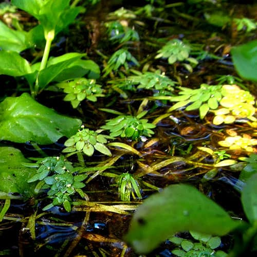 several water starworts growing in a pond with partial shade