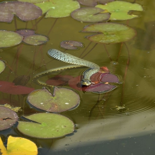 a water snake in a natural pond, where it helps keep the ecosystem healthy and balanced