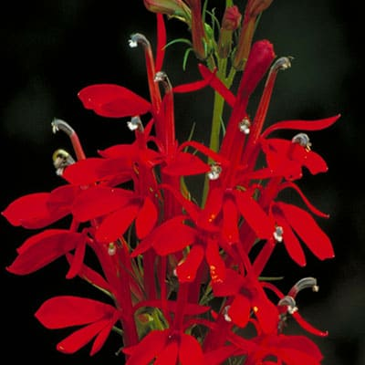 a mature, healthy cardinal flower with many red flowers