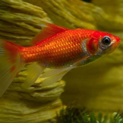An adult orange comet goldfish