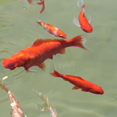 A pond with an appropriate depth for comet goldfish and other fish