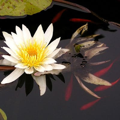 A white water lotus providing shade, shelter, and oxygen in a comet pond