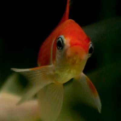 An orange comet goldfish in clean pond water