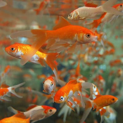 Friendly comet goldfish living happily in a group