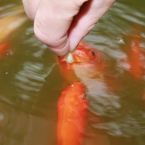 koi being fed with pellets that have koi clay added to them