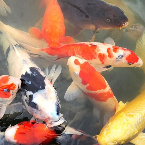 healthy koi that are benefitting from the antimicrobial properties of koi clay