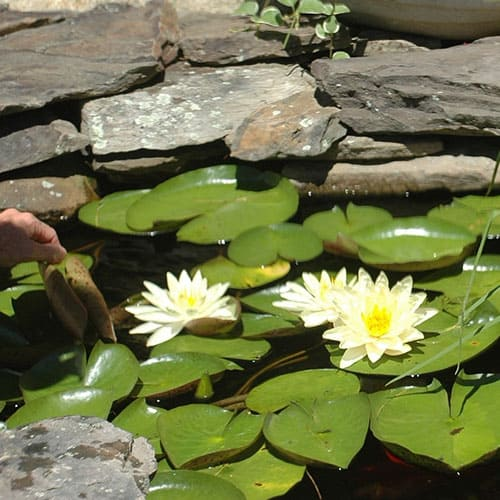 koi clay being properly administered to a pond with water lilies