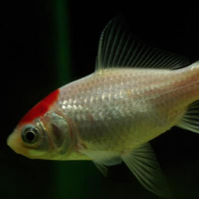 A healthy silver spotted comet goldfish