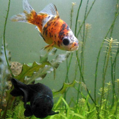 A black shubunkin and orange, white, and black shubunkin in an appropriately sized aquarium with plants