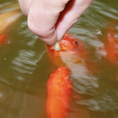 Orange shubunkin goldfish eating high protein pellets