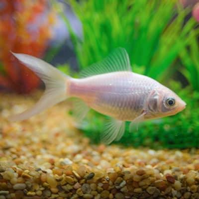 A silver comet goldfish in an aquarium