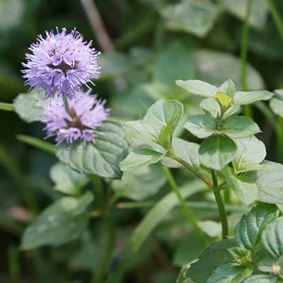 Mentha aquatica with characteristic square stems, opposite leaves, and purple flowers