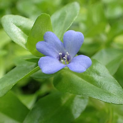 Lemon bacopa with blue flower growing in a shallow pond