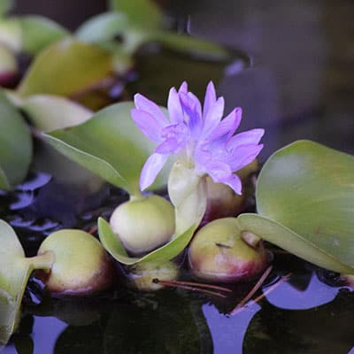 A floating plant with purple flowers growing well in a shallow container pond