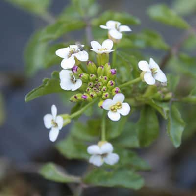Watercress with white flowers growing in a pond