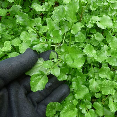 Watercress that has overtaken an area outside of its native range