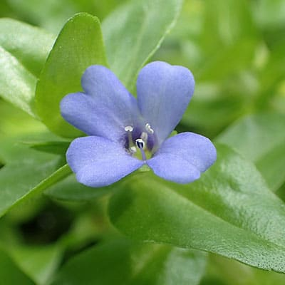 lemon bacopa pond plant blooming with a blue flower