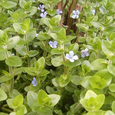 Many lemon bacopa plants growing healthily with blue flowers